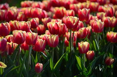 Red and yellow tulips. This photo was taken at windmill island, holland Stock Photo