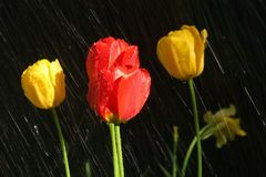 Red and yellow tulips in the rain Royalty Free Stock Image