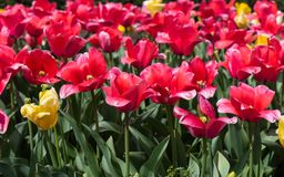 Red and Yellow Tulips Royalty Free Stock Photography
