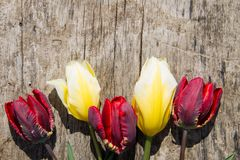 Red and yellow tulips on rustic wooden background Stock Images