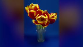 Red and yellow tulips slideshow stock video footage