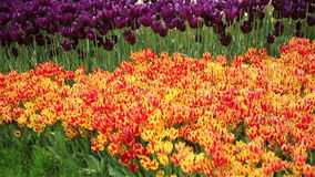 Red and yellow tulips in spring background. Beautiful red and yellow tulips in spring background. Full HD stock video footage