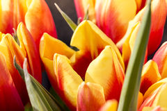 Red and yellow tulips in spring. Macro of some red and yellow tulips in spring Stock Image