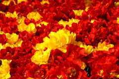 Red yellow tulips. In spring time Royalty Free Stock Photos