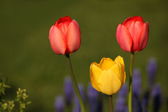 Red and yellow tulips at sunset Stock Images