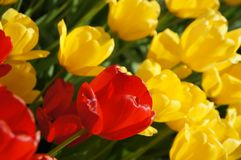 The beautiful red and yellow tulip flowers in the garden stock photo