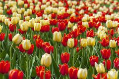 Red and yellow tulips in the town alley. stock photography