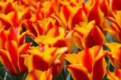Red, Yellow, Tulips, Tulip, Green Stock Images