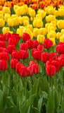 Red and yellow tulips . tulips . Field full of red and yellow tulips in bloom Stock Photography