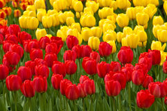 Red and yellow tulips . tulips . Field full of red and yellow tulips in bloom royalty free stock photography