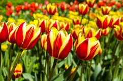 Red and yellow tulips. Stock Photo