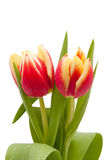Red and yellow tulips with water drops isolated Royalty Free Stock Photo