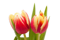 Red and yellow tulips with water drops isolated Stock Photo