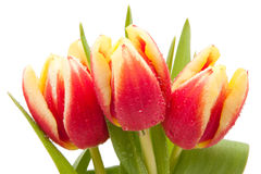 Red and yellow tulips with water drops isolated Royalty Free Stock Image