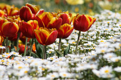 Red/Yellow Tulips with White Daises Stock Photography