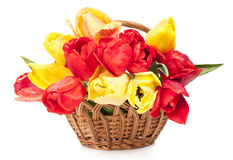 Red and yellow tulips in a wicker basket Royalty Free Stock Image