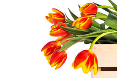 Red and Yellow Tulips in Wooden Box. Wooden box filled with lovely red and yellow tulips, presented against white background with ample room for copy royalty free stock photography