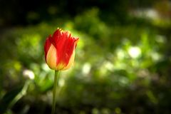 Red with yellow tullip flower in a spring garden. Red with yellow tullip flower in a spring garden Royalty Free Stock Photography