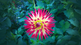 Red and yellow variegated cactus dahlia  in garden Stock Images