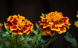 Red and Yellow Variegated Flowers. Two red and yellow variegated flowers royalty free stock photo