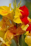 Red and yellow variegated Iris Stock Photography