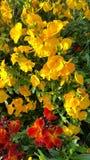 Red and yellow wallflowers Stock Photo