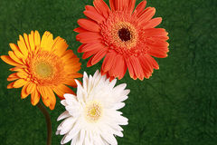 Red yellow and white daisy flowers Stock Photos