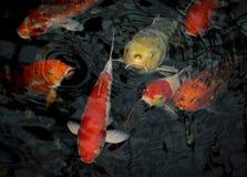 Red, Yellow, and White Koi Fish Royalty Free Stock Photo