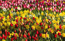 Red, yellow and white springflowers in garden Royalty Free Stock Image