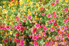 Red and yellow wild flowers on meadow Royalty Free Stock Photo