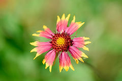 Red and Yellow Wildflower on Blurry Green Background Stock Image