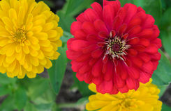 Red and Yellow Zinnia elegans flower Royalty Free Stock Photo