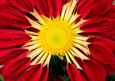 Red and Yellow Zinnia Flower in Macro Photo royalty free stock photography