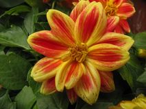 Red and Yellow Zinnia with Green Leaves royalty free stock photo