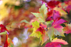 Red an YellowAutumn Sugar Maple Tree Leaves Stock Photos