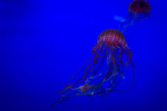 Red yellyfish in the blue ocean or aquarium. Chrysaora fuscescens, Pacific sea nettle jellyfish royalty free stock photos