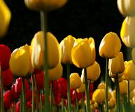 Red and yelow tulips. The tulip flower-bed on black background Stock Image