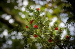 Red Yew Berries. A branch of a yew tree with red berries attached stock image