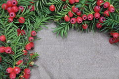 Red yew berries on the gray background Royalty Free Stock Image
