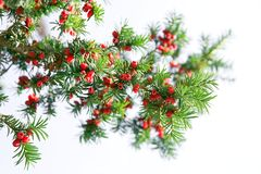 Red yew tree. Yew tree branch against white background royalty free stock photography