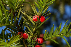 Red yew tree. Macro of branch of red yew tree with berries with blue sky background royalty free stock photography