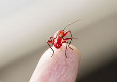 Red young firebug Royalty Free Stock Photography