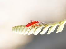 Red young firebug Stock Photography