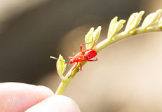 Red young firebug Stock Images