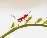 Red young firebug Royalty Free Stock Photo