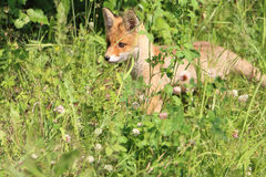 Red young fox in a  grass on the fringe of the forest Royalty Free Stock Photo