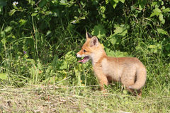 Red young fox in a  grass on the fringe of the forest Stock Photos