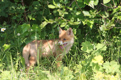 Red young fox in a grass on the fringe of the forest Stock Image