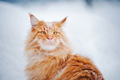 Red young Maine Coon, portrait in winter Stock Photos