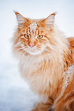 Red young Maine Coon, portrait in winter Stock Images